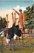 yan210009 - California, USA Cawston Ostrich Farm Postcard Post Card