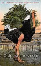 yan210011 - California, USA King Edward VII, Cawston Ostrich Farm Postcard Post Card
