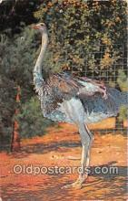 yan210016 - Catskill, NY, USA South African Ostrich, Catskill Game Farm Postcard Post Card