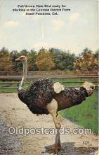 yan210021 - South Pasadena, CA, USA Male Bird, Cawston Ostrich Farm Postcard Post Card