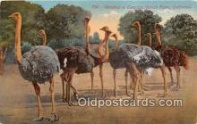 yan210024 - California, USA Ostriches, Cawston Ostich Farm Postcard Post Card