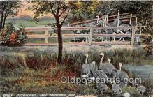 yan210035 - Hot Springs, Ark, USA Baby Ostriches Postcard Post Card