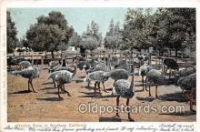 yan210036 - Southern California, USA Ostrich Farm Postcard Post Card