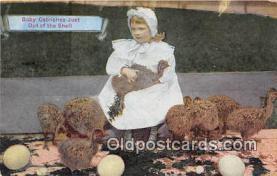 yan210038 - Baby Ostriches Postcard Post Card
