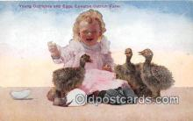 yan210039 - Young Ostriches, Cawston Ostrich Farm Postcard Post Card