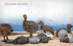 yan210040 - Baby Ostriches Postcard Post Card