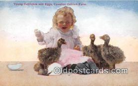 yan210041 - Young Ostriches, Cawston Ostrich Farm Postcard Post Card