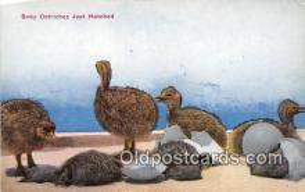 yan210043 - Baby Ostriches Postcard Post Card