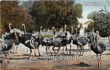 yan210048 - California Ostrich Farm, USA Ostriches Fighting Postcard Post Card