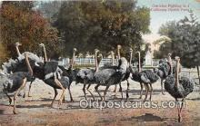 yan210050 - California Ostrich Farm, USA Ostriches Fighting Postcard Post Card