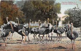yan210050 - California Ostrich Farm, USA Ostriches Fighting Postcard Post Card