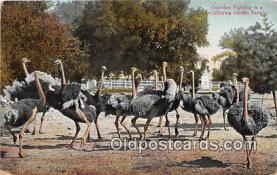 yan210051 - California Ostrich Farm, USA Ostriches Fighting Postcard Post Card