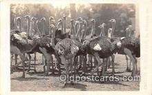 yan210055 - South Pasadena, CA, USA Cawston Ostrich Farm Postcard Post Card