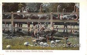 yan210065 - California, USA Cawston Ostrich Farm Postcard Post Card
