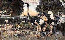 yan210071 - California, USA Cawston Ostrich Farm Postcard Post Card