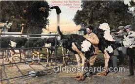 yan210071 - California, USA Cawston Ostrich Farm Postcard Post Card