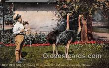 yan210072 - California, USA Cawston Ostrich Farm Postcard Post Card
