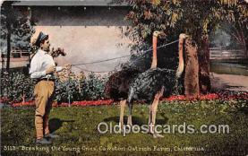 yan210072 - California, USA Cawston Ostrich Farm Postcard Post Card