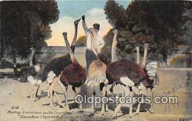 yan210073 - South Pasadena, CA, USA Cawston Ostrich Farm Postcard Post Card