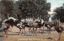 yan210074 - Pasadena, CA, USA Ostrich Farm Postcard Post Card