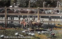 yan210076 - California, USA Cawston Ostrich Farm Postcard Post Card
