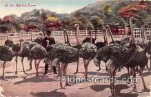 yan210077 - California, USA Ostrich Farm Postcard Post Card