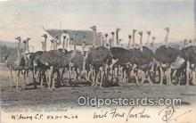yan210078 - Ostriches Postcard Post Card