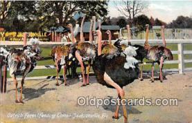 yan210081 - Jacksonville, FL, USA Ostrich Farm, Feeding Time Postcard Post Card