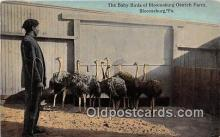 yan210082 - Bloomsburg, PA, USA Baby Birds, Bloomsburg Ostrich Farm Postcard Post Card
