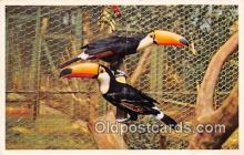 yan220004 - San Diego Zoo, CA, USA Toco Toucan, South America Postcard Post Card