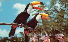 yan220005 - Naples, FL, USA Toco Toucan, South America Postcard Post Card