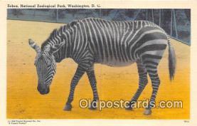 yan230009 - Washington DC, USA Zebra, National Zoological Park Postcard Post Card