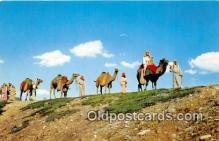 yan230015 - Black Hills Passion Play, Lake Wales, FL, USA Camel Caravan Postcard Post Card