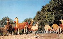 yan230016 - Catskill, NY, USA Herd of Llamas Postcard Post Card