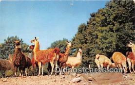 yan230018 - Catskill, NY, USA Herd of Llamas Postcard Post Card