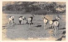 yan230020 - Real Photo  Antelope Postcard Post Card