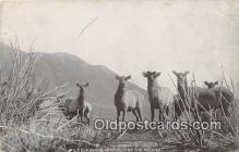 yan230022 - Rockies Wild Elk Postcard Post Card