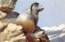 yan230039 - Painted by Maynard Reece Hoary Marmot Postcard Post Card