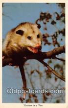 yan230044 - Possum Postcard Post Card