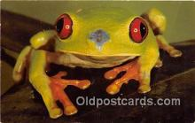 yan250009 - San Diego Zoo, CA, USA Red Eyed Tree Frog Postcard Post Card
