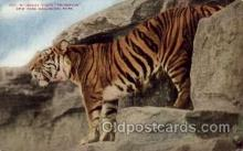 zoo001022 - Malay Tiger, New York Zoological Park New York, USA Postcard Post Cards Old Vintage Antique
