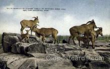 zoo001024 - Barbary Wild Sheep, New York Zoological Park New York, USA Postcard Post Cards Old Vintage Antique