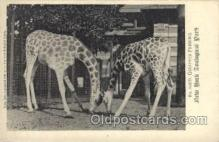 zoo001053 - Giraffes Feeding, New York Zoological Park New York, USA Postcard Post Cards Old Vintage Antique
