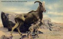 zoo001054 - Aoudad & Baby, New York Zoological Park New York, USA Postcard Post Cards Old Vintage Antique