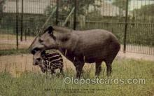 South American Tapir & Young, New York Zoological Park