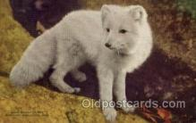 zoo001068 - Arctic Fox, New York Zoological Park New York, USA Postcard Post Cards Old Vintage Antique