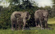 zoo001078 - East African Elephants, New York Zoological Park New York, USA Postcard Post Cards Old Vintage Antique