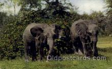 zoo001080 - East African Elephants, New York Zoological Park New York, USA Postcard Post Cards Old Vintage Antique