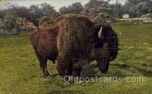 zoo001092 - American Bison, New York Zoological Park New York, USA Postcard Post Cards Old Vintage Antique