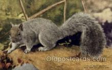 zoo001095 - Gray Squirrel, New York Zoological Park New York, USA Postcard Post Cards Old Vintage Antique
